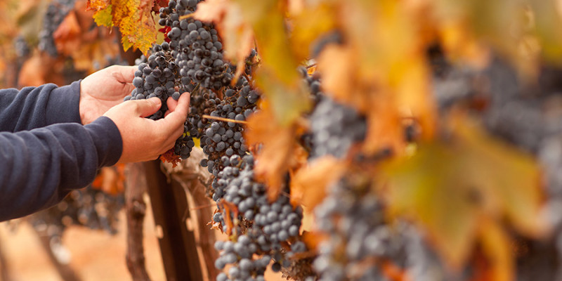 Farmer Inspecting His Ripe Wine Grapes Ready For Harvest.
